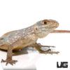 Madagascar Spotted Spiny Tailed Iguana