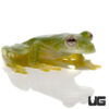 Powdered Glass Tree Frog