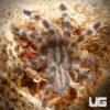 1.75 - 2.25 Inch Salem Ornamental Tarantula