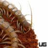 Solomon Island Banded Centipede