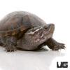 Yearling Eastern Mud Turtle