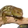 Adult Monkey Tail Skink