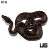 Solomon Island Ground Boa Male #10