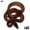 Solomon Island Ground Boa Male #9