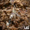 Baby Marion County Wolf Spider