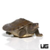 Baby Painted River Terrapin Turtle