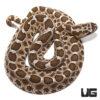 Baby Western Massasauga Rattlesnake