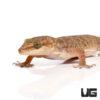 Brook's House Gecko
