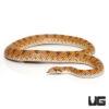 Crowned Leaf Nose Snake