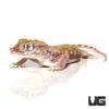 Egyptian Sand Gecko