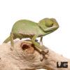 2-3 Inch Veiled Chameleon