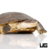 West African Helmeted Turtle