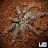 2 - 4 Inch Ornamental Baboon Tarantula