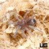 .25 - .5 Inch Panamanian Green Tarantula