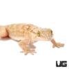 White Spot Gecko