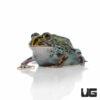 Baby Giant Pixie Frog