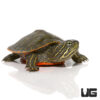 Baby Northern Redbelly Cooter Turtle