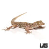 Blanford's Gecko