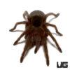 1.25 - 1.75 Inch Brazilian Black Tarantula
