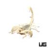 .75 – 3 Inch California Giant Scorpion