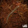 Nigerian Orange Leg Centipede