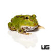 Pacific Pacman Frog