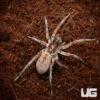 1.5 – 2 Inch Plains Wolf Spider