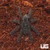 .5 – .75 Inch Purple Earth Tiger Tarantula
