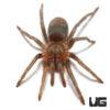 .25 - .50 Inch Sullana Velvet Tarantula
