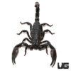 Congo Emperor Scorpion