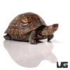 Central American Wood Turtle (B-Grade)