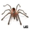 1.5 Inch Duran Giant Birdeater Tarantula