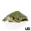 Hybrid Yellowbelly Slider Turtle
