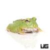 Matcha Pacman Frog