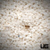 .25 - .75 Inch Plains Wolf Spider