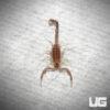 Baby Yellow Fat Tail Scorpion