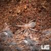 .25 Inch Brazilian Giant Blonde Tarantula