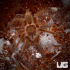 1.5 - 2 Inch Giant Asian Fawn Tarantula