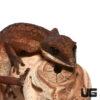Malaysian Cat Eye Gecko