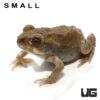 "Colorado River Toad (Small 2-3"")"