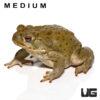 """Colorado River Toad (Medium 4-5"""")"""