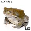 Colorado River Toad (Large 6+ Inch)
