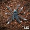 1 - 1.5 Inch Goliath Pinkfoot Tarantula