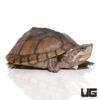 Yearling Pastel Musk Turtle