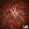 1 Inch Magna Birdeater Tarantula