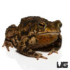 Marbled Toad