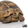 Greek Tortoise