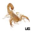 Sand Devil Scorpion